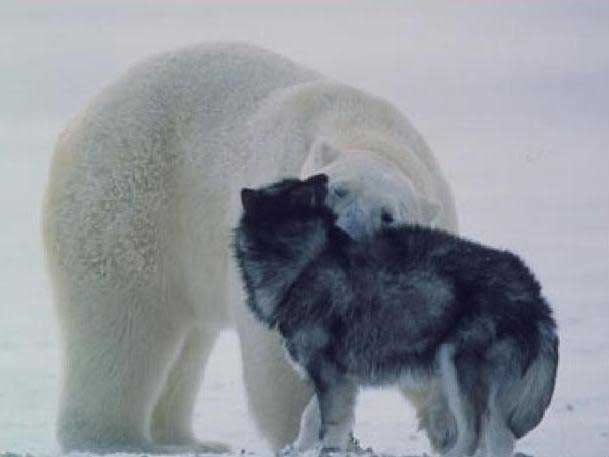 Dog and bear siffing each other